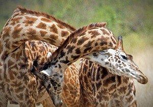 3 Days Luxury Serengeti and Ngorongoro Safari Tanzania