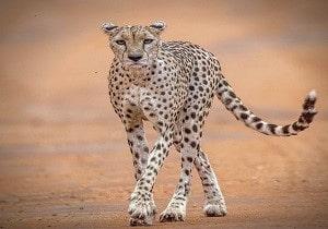 cheetah Kenya tour