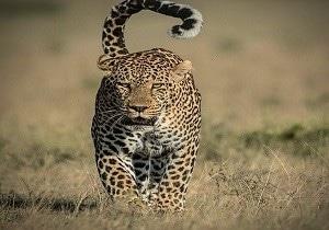 Kenya leopard safaris