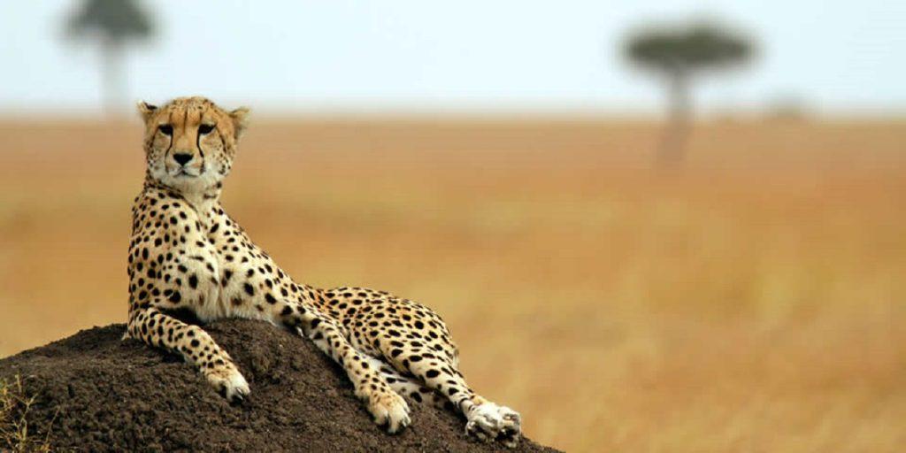 cheetah kenya Safari Photography Equipment