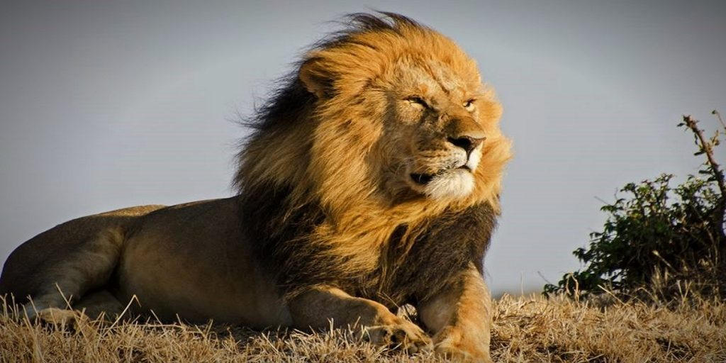lion classic safaris