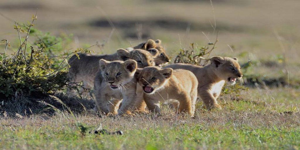 lion cubs tour masai mara