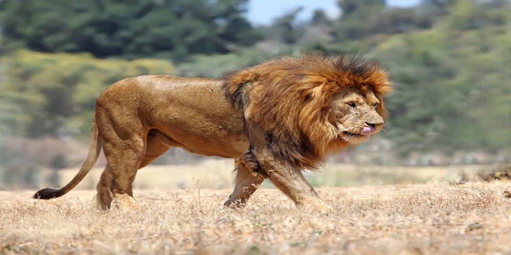 lion kenya safaris