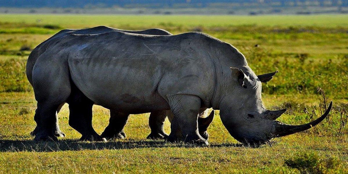rhino in lake nakuru kenya tour