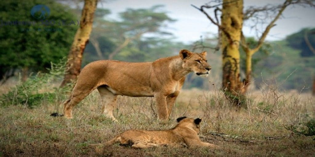 tarangire lions travel Tanzania
