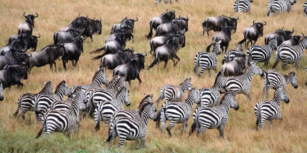 Story of The Great wildebeest migration