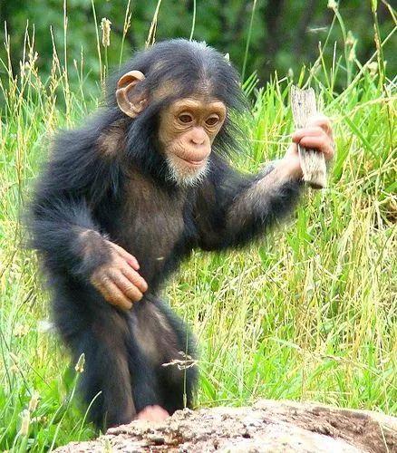 African chimpanzee