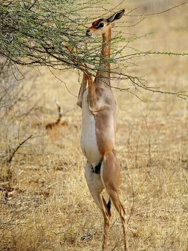 African Gerenuk