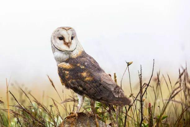 African grass owl.