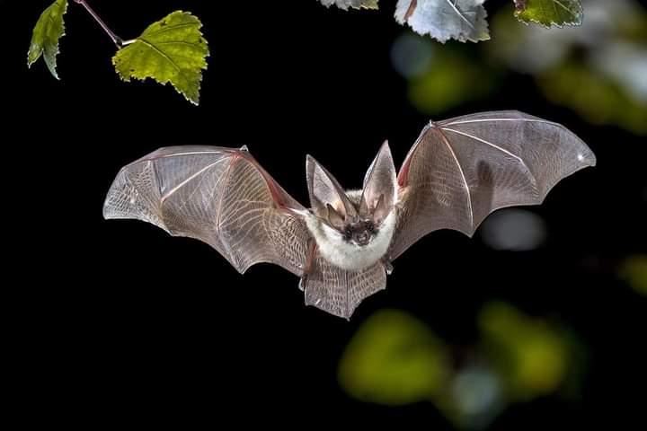 African Bats