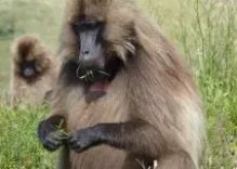 African Baboons Facts