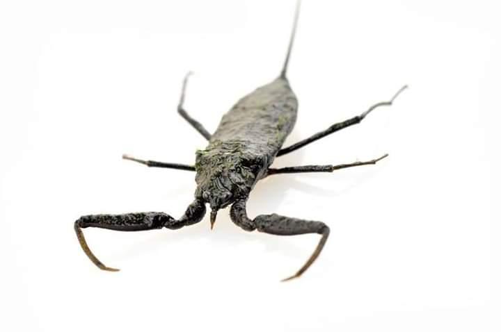 Water Scorpions