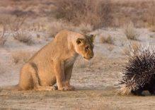 African Porcupine